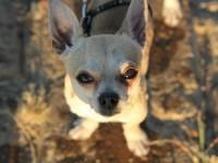¿Por qué los perros pequeños ladran más? // Imatge Indicans