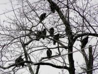Els voltors que celebren anualment la batalla de Gettysburg